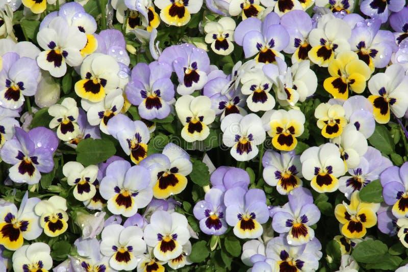 Zamyka w górę kwiat głów na Pansies w pełnym kwiacie obrazy stock