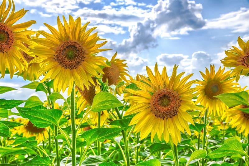Zamyka w górę kwiatonośnych kwitnących słoneczników w polu pod niebieskim niebem z chmurami Organicznie kwiat, piękny kwiat zdjęcie stock