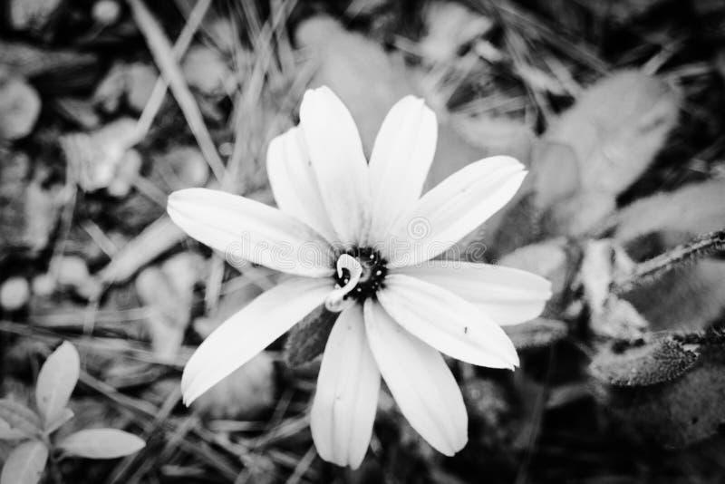 Zamyka w górę kwiatu B&W obrazy royalty free