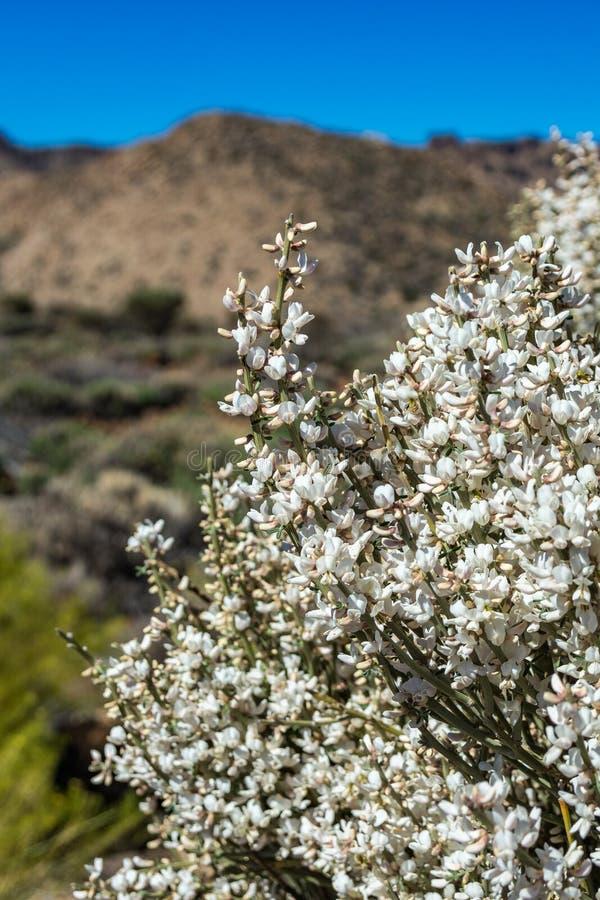 Zamyka w górę Kwitnąć endemicznego krzaka Biali kwiaty Retama rhodorhizoides Park Narodowy Teide, Tenerife, wyspy kanaryjska obraz royalty free