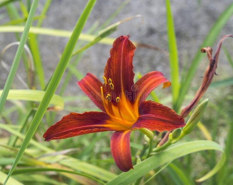 Zamyka w górę kwitnącego czerwonego leluja kwiatu zdjęcie stock