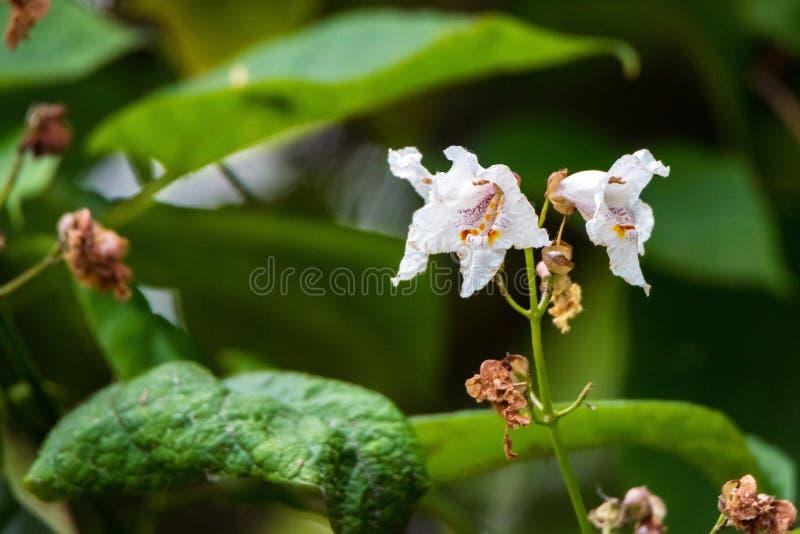 Zamyka w górę kwitnących surmiów bignonioides drzewnych z białymi kwiatami fotografia stock