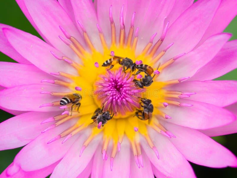 Zamyka w górę lotosowego pollen fotografia stock