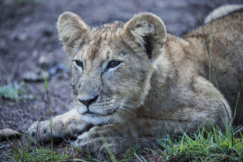 Zamyka w górę lwa lisiątka, Panthera Leo, łgarski puszek lub patrzeć kamerę, fotografia stock