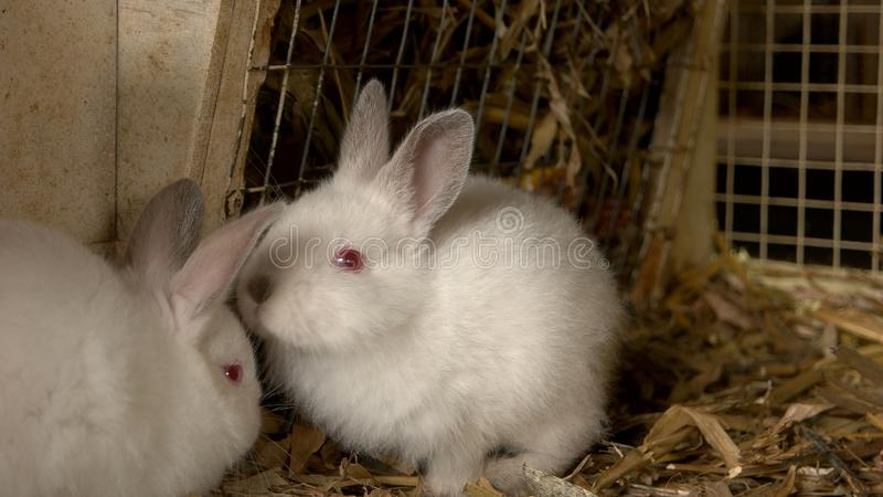 Zamyka w górę młodych białych królików w hutch zdjęcia stock