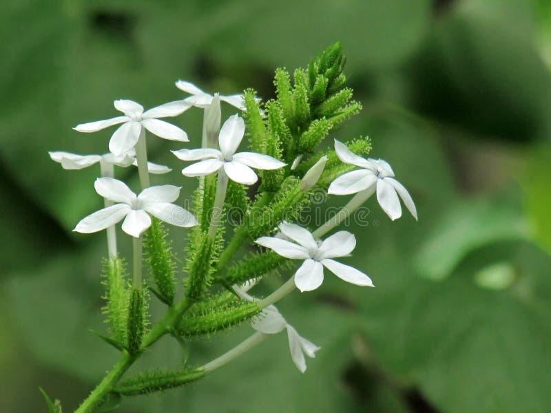 Zamyka w górę Małego białego kwiatu Ceylon leadwort, Biały leadwort lub Plumbago zeylanica, obraz royalty free
