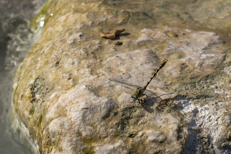 Zamyka w górę Małego pincertail lub Zielonookiego ogoniastego dragonfly, Onychogomphus forcipatus w świetle słonecznym na skale,  obraz royalty free