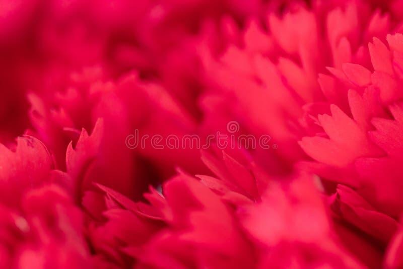 Zamyka w górę miękkiego czerwonego płatka kwiat, selekcyjna ostrość Kwiatu t?o i tekstura zdjęcia stock