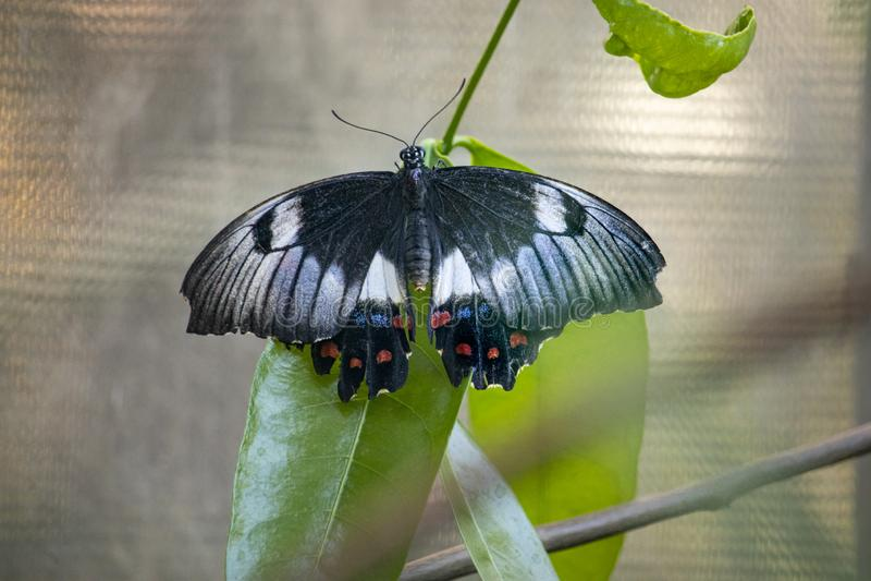 Zamyka w górę motyla na liściu obraz stock
