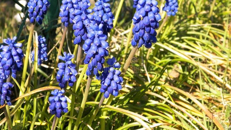 Zamyka w górę Muscari kwiatu fotografia royalty free