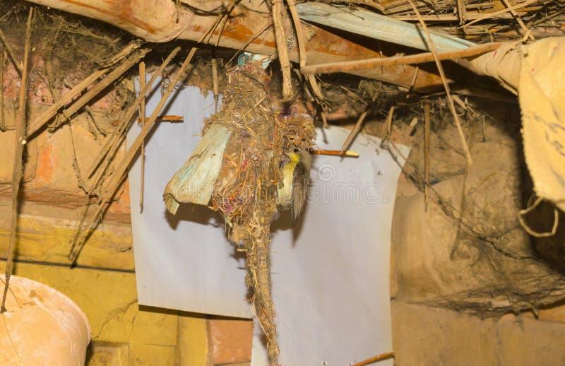 Zamyka w górę nucić ptasiego obwieszenie na swój gniazdeczku zdjęcia stock
