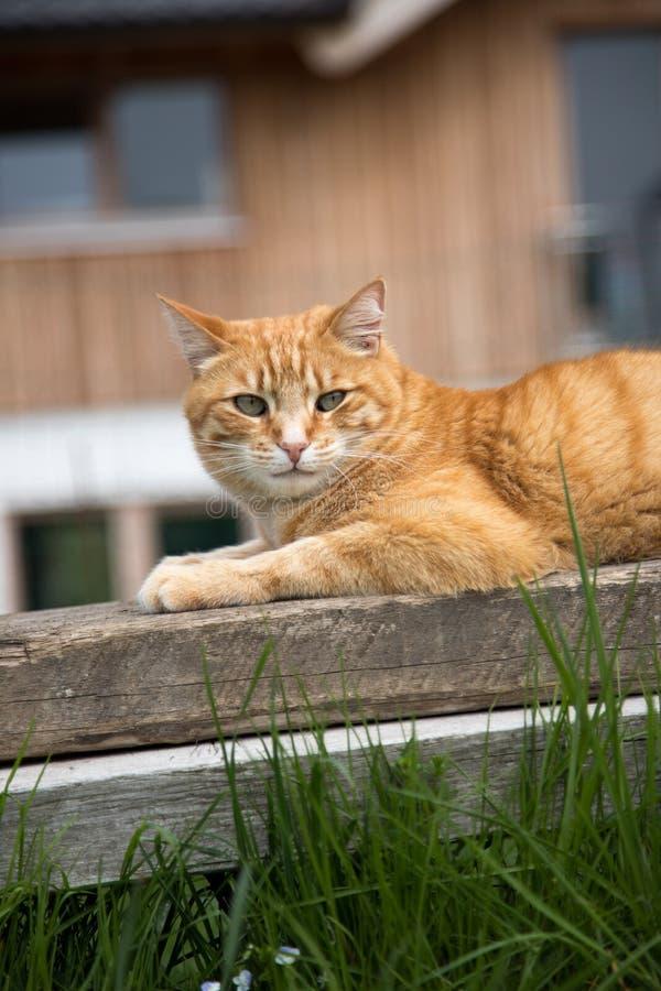 Zamyka w górę obrazka czerwony tabby kot relaksuje w ogródzie fotografia royalty free