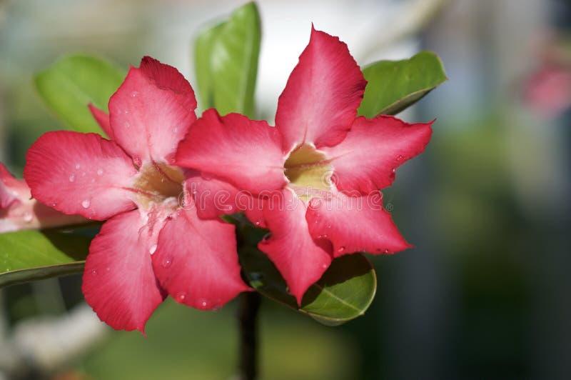 Zamyka w górę obrazka pustynia wzrastał kwiaty obraz royalty free