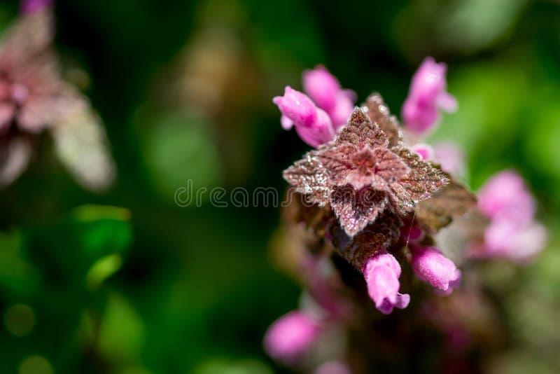 Zamyka w górę odgórnego widoku czerwony jasnoty Lamium purpureum zdjęcia stock