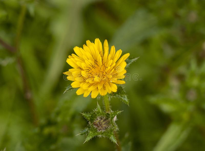 Zamyka w górę odgórnego widoku otwarcia dandelion kwiatu głowy żółci płatki zdjęcie stock