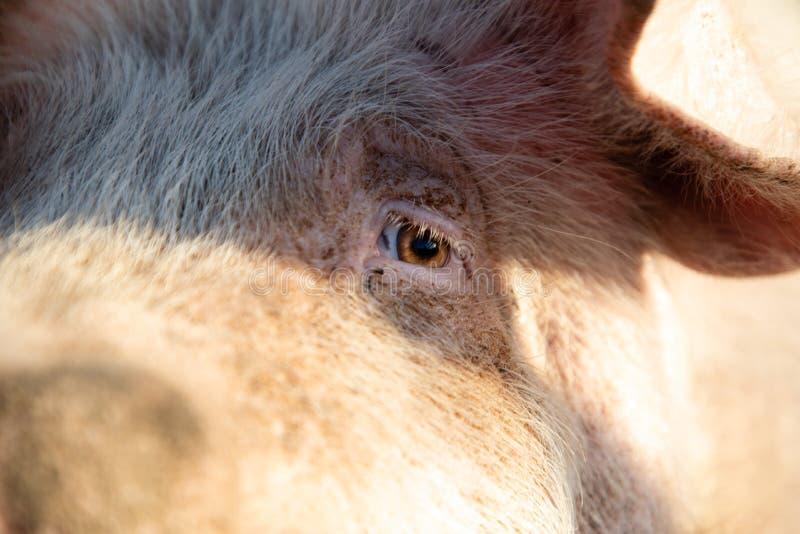 Zamyka w górę oka świnia zdjęcia stock