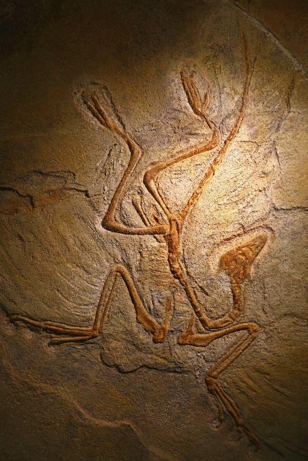 Zamyka w górę osłupiały skamieniałego zostaje archeopteryks obrazy royalty free