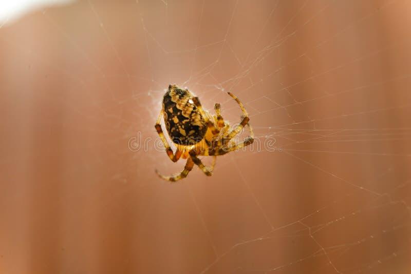 Zamyka w górę pająka po środku jego sieci obrazy royalty free