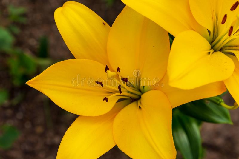 Zamyka w górę pary żółte leluje obrazy royalty free