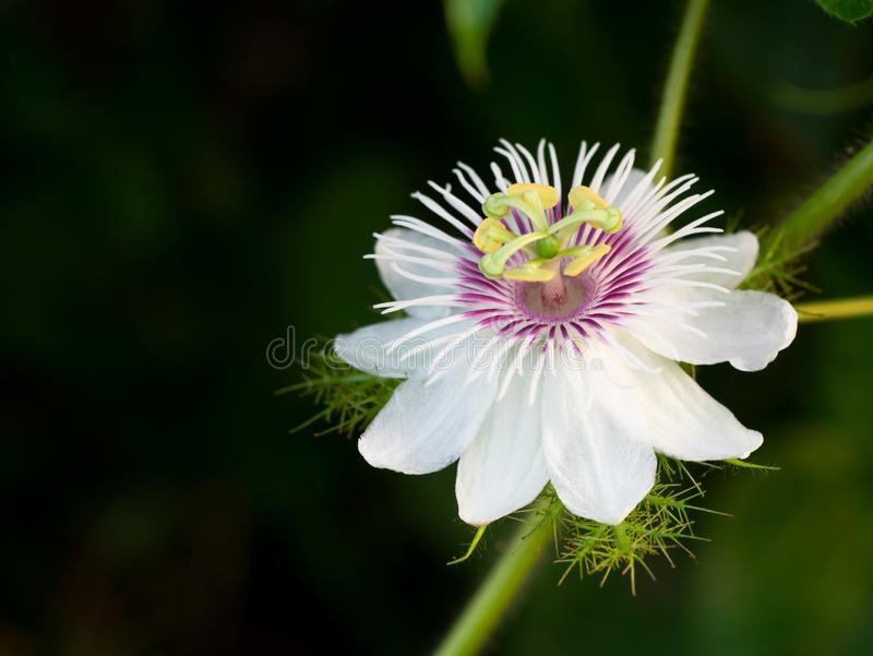 Zamyka w górę Passiflora foetida L Kwiat zdjęcia stock
