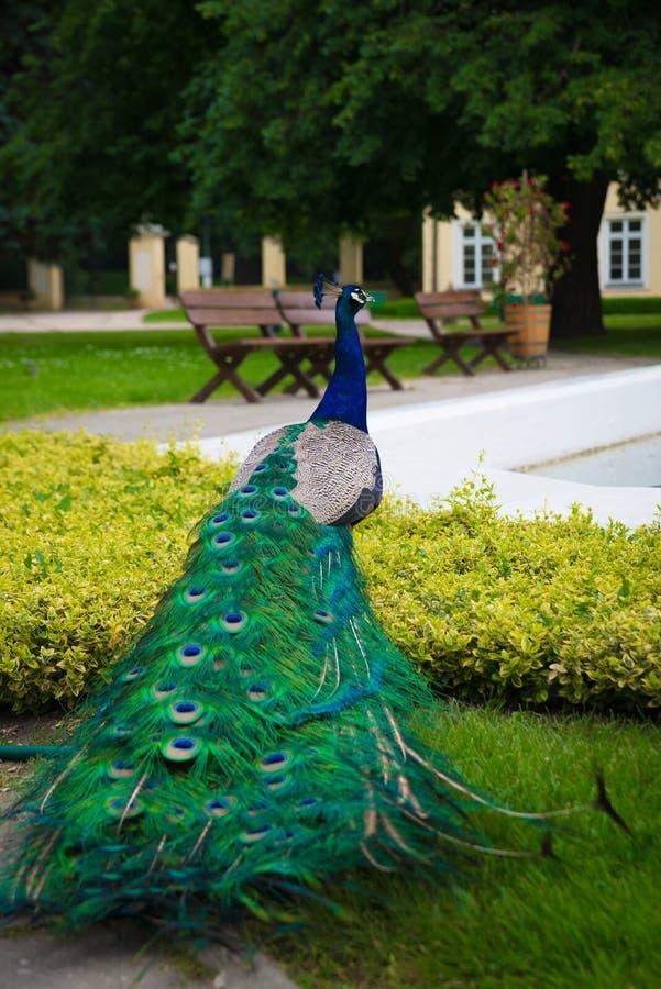 Zamyka w górę pawia z kolorowym ogonem z grodzką fontanną, park w tle zdjęcie royalty free