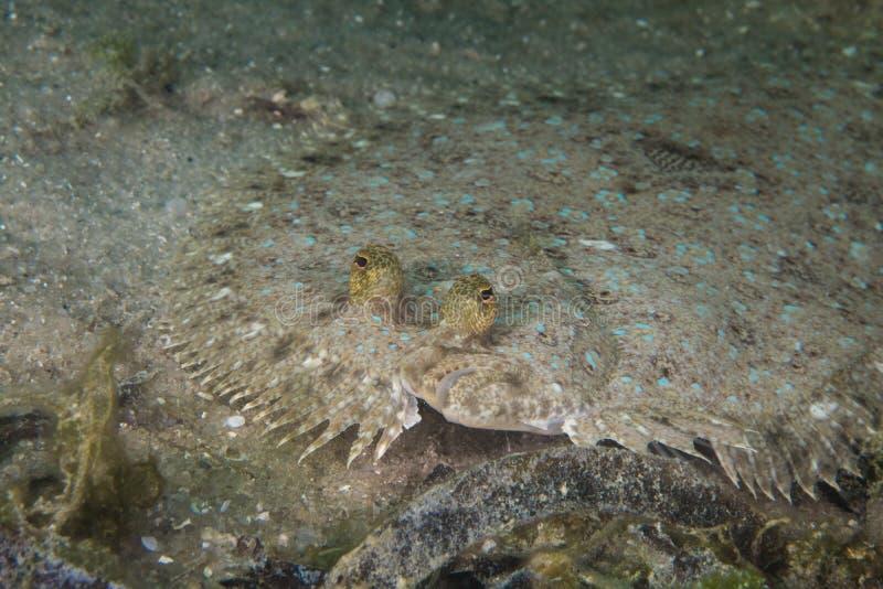 Zamyka w górę Pawiej flądry ryby fotografia royalty free