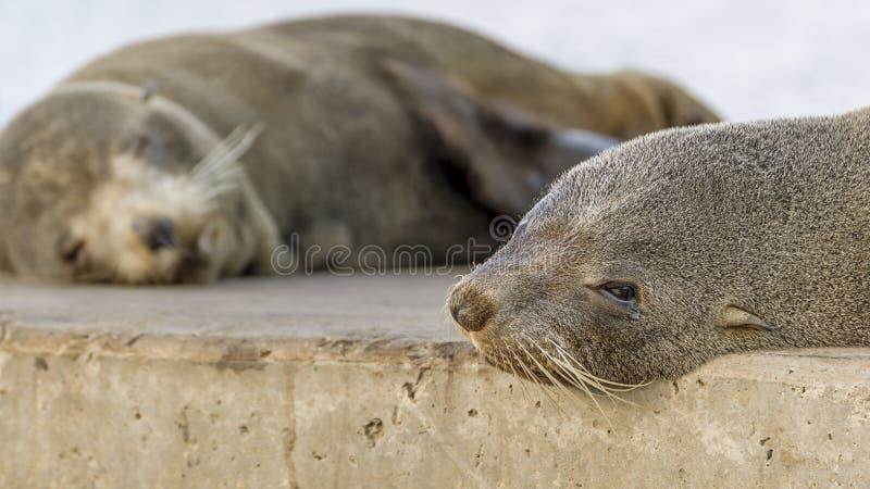 Zamyka w górę pięknego dennego lwa lying on the beach na skałach odpoczywa, Kingscote, kangur wyspa, Południowy Australia obrazy royalty free