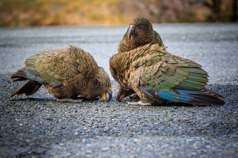 Zamyka w górę pięknego koloru piórka, upierzenia kea ptaków dowcip kierdel zdjęcie stock