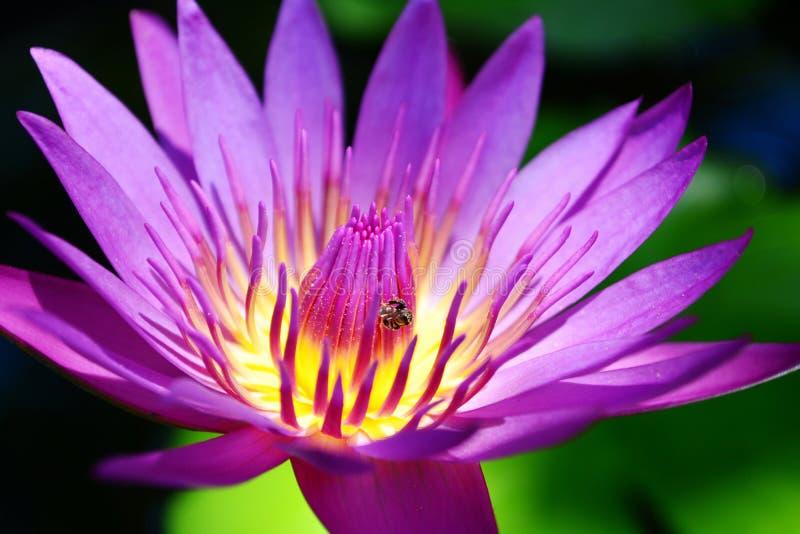 Zamyka w górę pięknego purpurowego lotosowego kwiatu fotografia stock