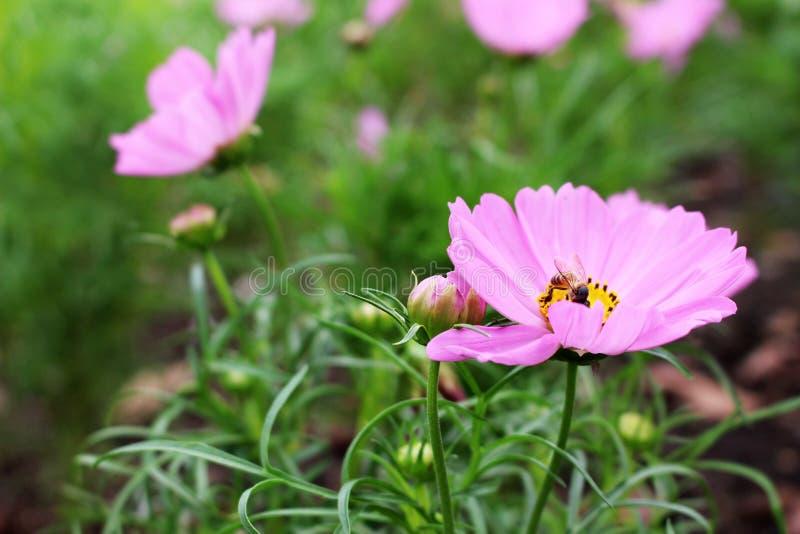 Zamyka W górę Pięknej pszczoły na menchiach i Purpurowych kolorach kosmosów kwiaty w ogródzie zdjęcie royalty free