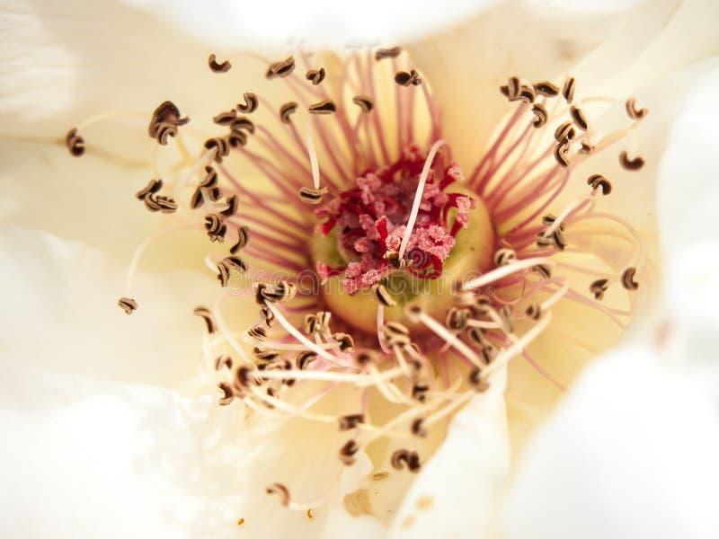 Zamyka w górę piękny makro- bielu i menchii róży luksus wśrodku obrazy royalty free