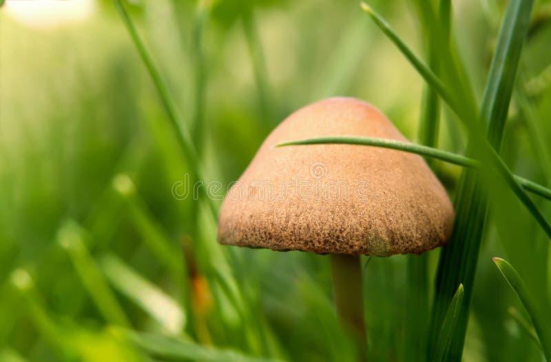 Zamyka w górę pieczarki w lesie między zielonymi trawami zdjęcie royalty free