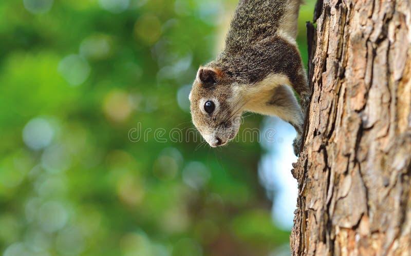 Zamyka w górę połówki wiewiórczego chipmunk obrazy stock