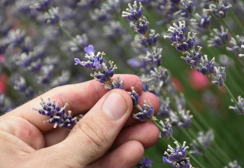 Zamyka w górę podnosić aromatycznej lawendy w ogródzie zdjęcie stock