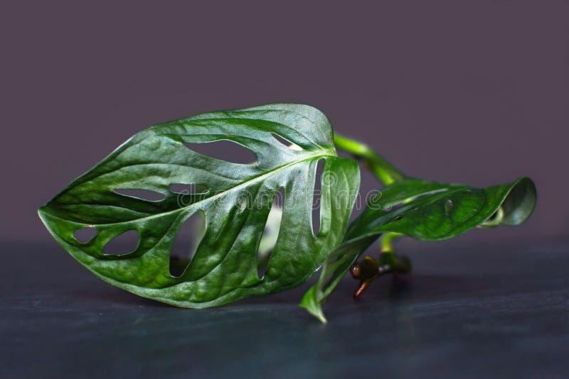Zamyka w górę pojedynczego egzotycznego tropikalnego Monstera Adansonii, małego windowleaf rośliny liścia serowy rozcięcie, obraz stock