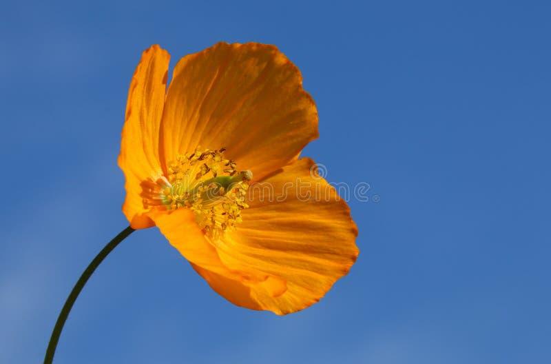 Zamyka w górę pomarańczowego Walijskiego maczka mecanopsis cambrica fotografia stock