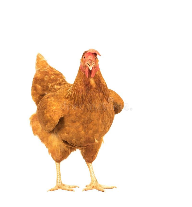 Zamyka w górę portret folującego ciała brown żeńskich jajek kurny trwanie sh obrazy stock