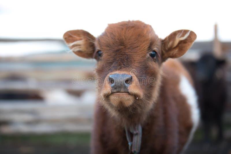 Zamyka w górę portreta śliczna dziecko krowa zdjęcie stock