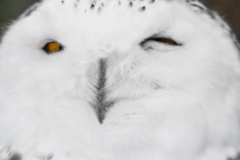 Zamyka w górę portreta śliczny śpiący śnieżny sowy mruganie z okiem fotografia royalty free