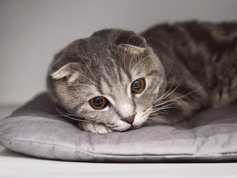 Zamyka w górę portreta śmieszny szkocki fałdu kota lying on the beach na materac obrazy stock