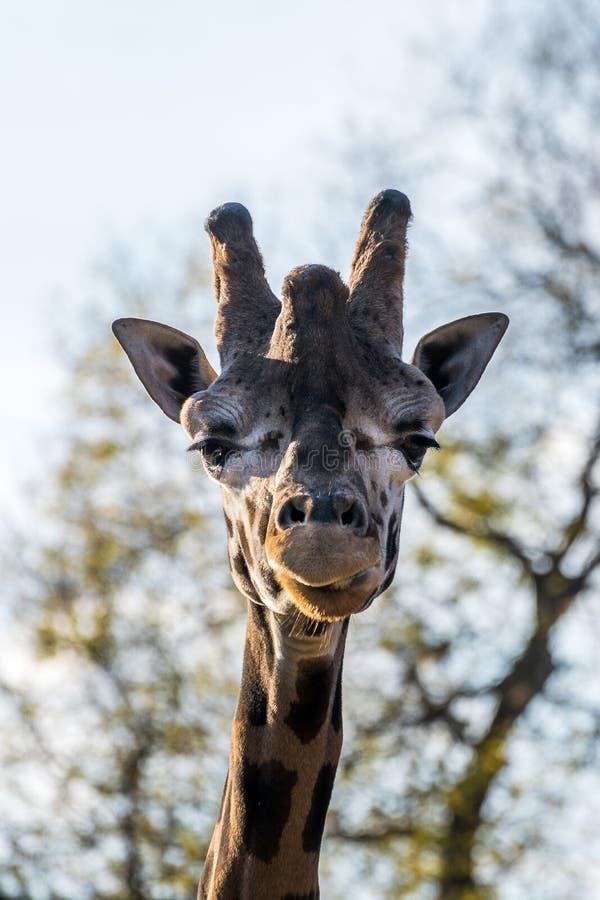 Zamyka w górę portreta żyrafa fotografia stock