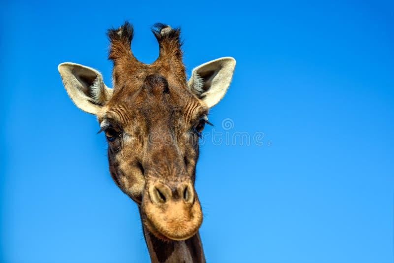 Zamyka w górę portreta żyrafa nad niebieskim niebem fotografia stock