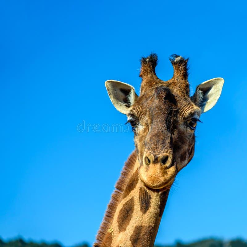 Zamyka w górę portreta żyrafa nad niebieskim niebem obraz stock