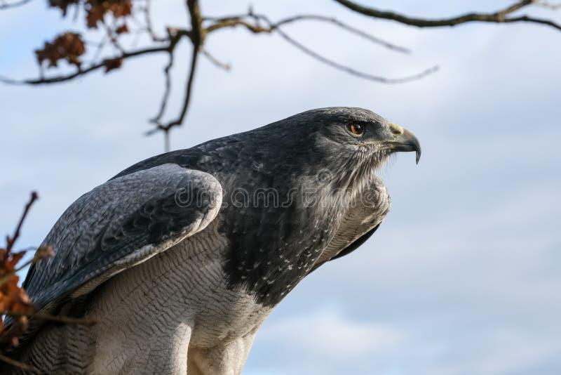 Zamyka w górę portreta błękitny orzeł, fotografującego przy Angielską szkołą sokolnictwo, śledź zieleni gospodarstwo rolne, UK zdjęcia royalty free
