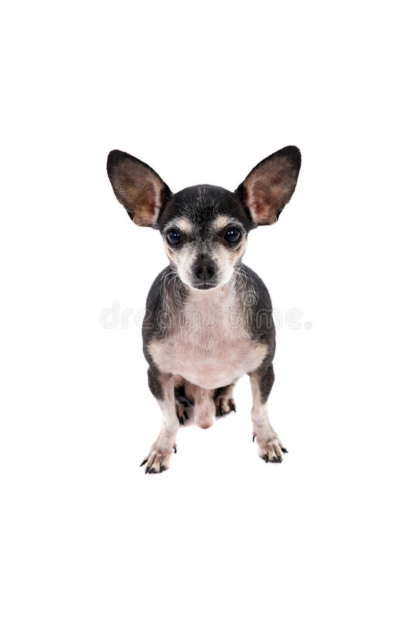 Zamyka w górę portreta Chihuahua pies zdjęcie stock