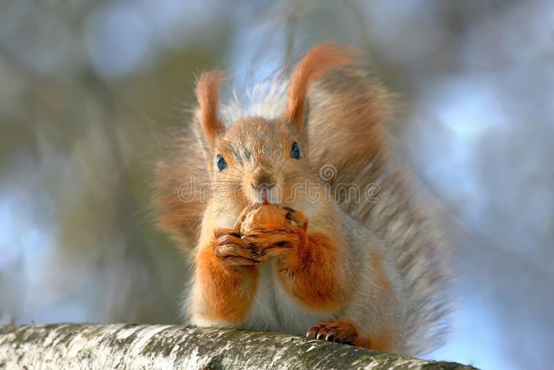 Zamyka w górę portreta czerwona wiewiórka z wallnut na drzewie obrazy royalty free