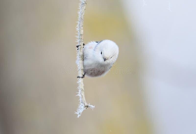 Zamyka w górę portreta długi ogoniasty tit w zimy envirinement zdjęcie royalty free