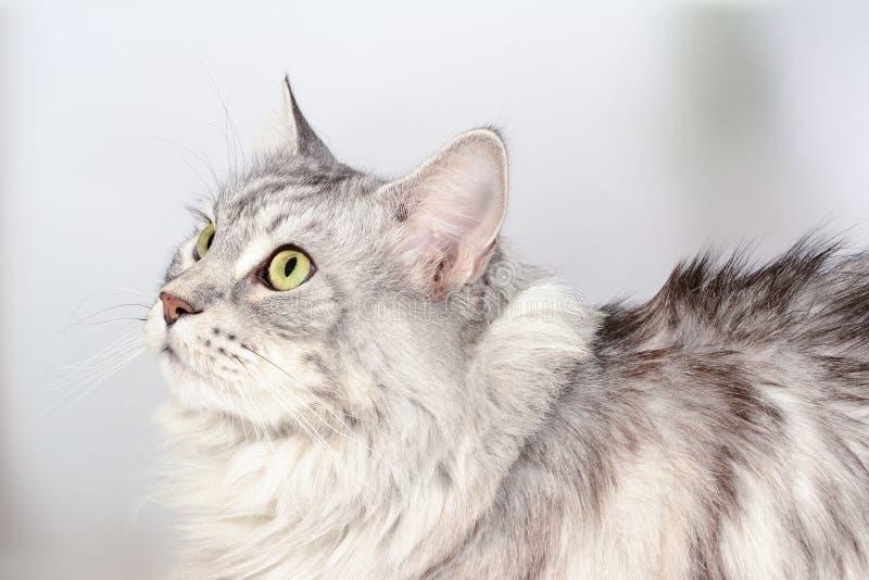 Zamyka w górę portreta dorosłego Maine coon patrzeje ptaka Srebnego tabby poważny kot obraz stock