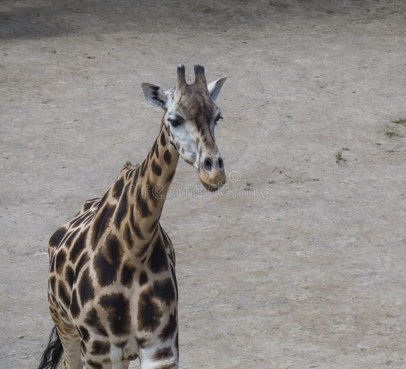 Zamyka w górę portreta Giraffa camelopardalis camelopardalis Linnaeus, czołowy widok, brudu tło fotografia royalty free