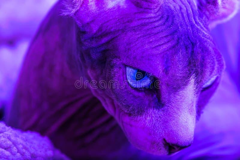 Zamyka w górę portreta kanadyjczyka Sphynx kot zdjęcia stock